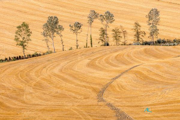 'Silberpappeln in abgeernteten Feldern' Crete Senesi