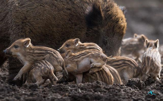 Wildschwein Frischlinge - Aufruhr an der Milchbar - im Wildpark Poing - Nikon D500 & Sigma APO 500mm 1:4,5 EX DG HSM  |  Blende 4,5  |  1/1000s  |  ISO 400