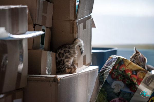 Parallel zum Containerausbau wird zuhause schon gepackt. Die Bengalenbabys sind die einzigen, die das toll finden :-P