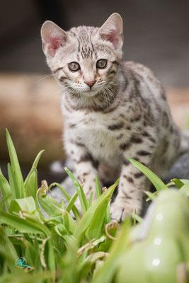 Bengalen 'Silver' Kitten, Sigma APO 500mm 1:4,5 EX DG HSM |  Blende 4,5  |  1/2500s.  |  ISO 800