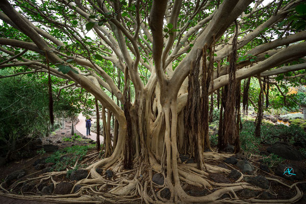 Mächtiger Ficus im botanischen Garten Jardin Botánico Viera y Clavijo