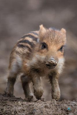 Wildschwein Frischling flott im Galopp unterwegs, Wildpark Poing - Nikon D500 & Sigma APO 500mm 1:4,5 EX DG HSM  |  Blende 4,5  |  1/1000s  |  ISO 400