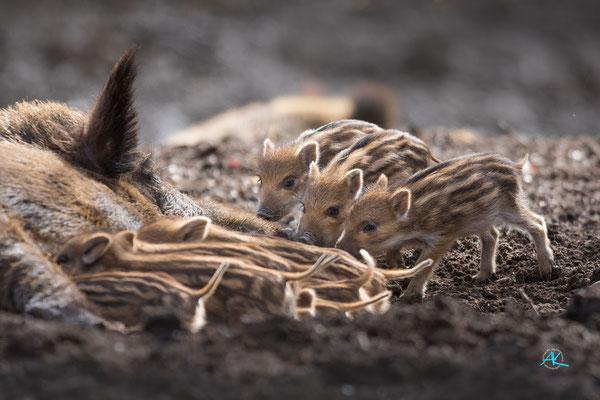 Wildschwein Frischlinge - überfüllte Milchbar - im Wildpark Poing - Nikon D500 & Sigma APO 500mm 1:4,5 EX DG HSM  |  Blende 4,5  |  1/1000s  |  ISO 400