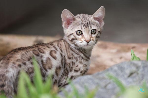 Bengalen 'Silver' Kitten, Sigma APO 500mm 1:4,5 EX DG HSM |  Blende 4,5  |  1/4000s.  |  ISO 800