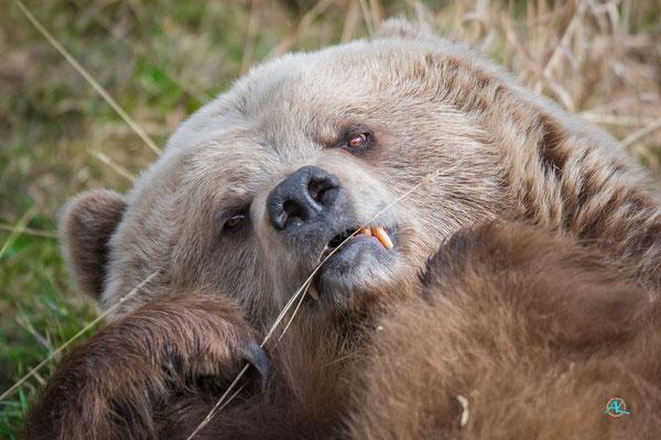 Relaxte Braunbärin im Wildpark Poing - Nikon D500 & Sigma APO 500mm 1:4,5 EX DG HSM  |  Blende 4,5  |  1/1000s  |  ISO 400