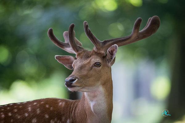 Damhirsch im Wildpark Poing, Nikon D4s & Sigma 500mm  |  Blende 4,5  |  1/800s.  |  ISO 2500