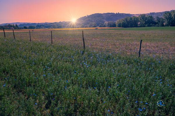 'Felder und blaue Blumen' Crete Senesi