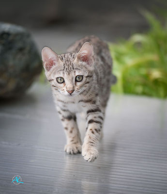 Bengalen 'Silver' Kitten, Sigma APO 500mm 1:4,5 EX DG HSM |  Blende 4,5  |  1/3200s.  |  ISO 800