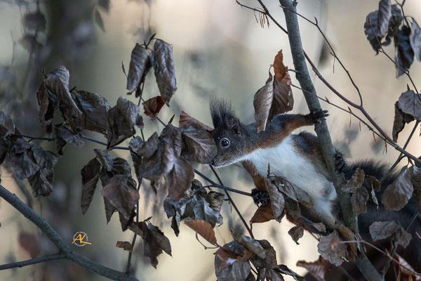 Wer findet das Eichhörnchen :)