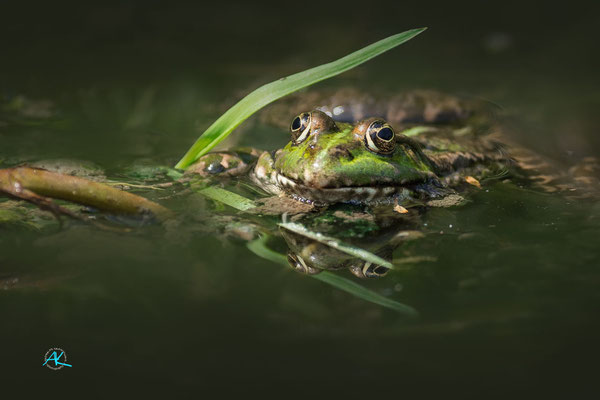 Frosch im Wildpark Poing, Nikon D4s & Sigma 500mm  |  Blende 4,5  |  1/1600s.  |  ISO 400