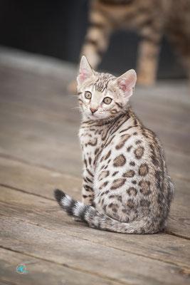 Bengalen 'Silver' Kitten, Sigma APO 500mm 1:4,5 EX DG HSM |  Blende 4,5  |  1/640s.  |  ISO 800