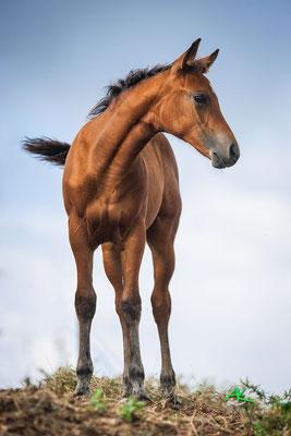 Stutfohlen - Azienda Termine - Marion Mueller Quarterhorses