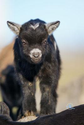 Baby Ziege, nur ein paar Tage alt