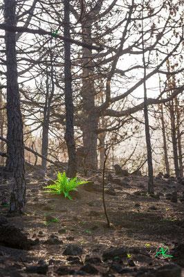 Neues Grün nach Waldbrand