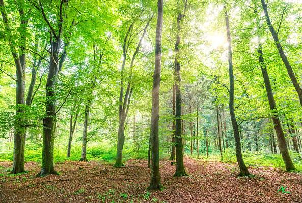 'Buchen mit Frühlingslaub' Perlacher Forst