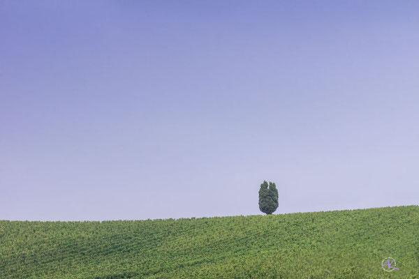 'Zypresse auf grünem Hügel' Val D'Orcia
