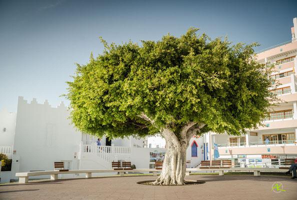 Ficus an der Strandpromenade von Puerto de Naos