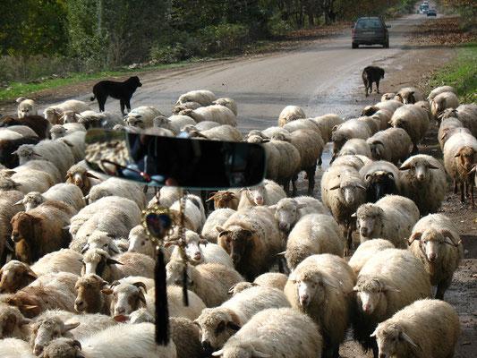 Schafherde auf dem Weg zu den Winterweiden, Georgien; 19.10.2014