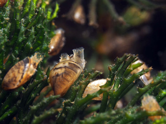 Baby-Muscheln, ca. 0,5-1 cm klein, Dreikantmuschel (Dreissena polymorpha)