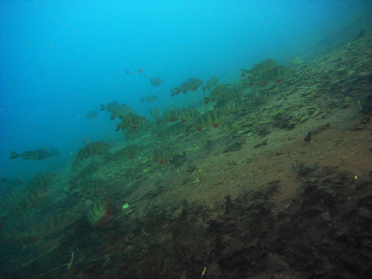 Flussbarsche (perca fluviatilis)