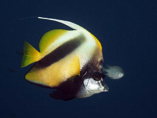 Rotmeer-Wimpelfisch (Heniochus acuminatus)