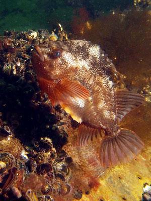 Seehase (cyclopterus lumpus)