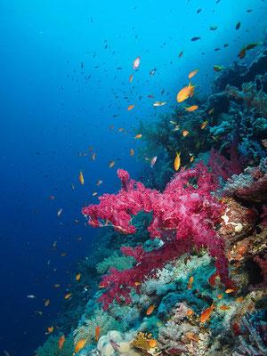 Weichkoralle am Elphinstone Riff