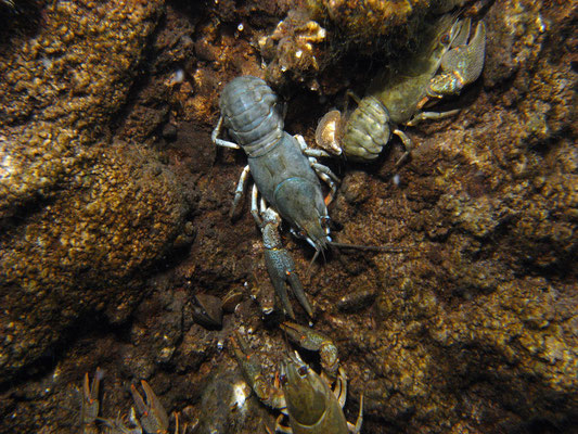 Edelkrebse (astacus astacus)