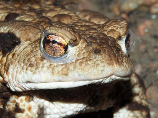 Erdkröte (bufo bufo) in 12m Tiefe