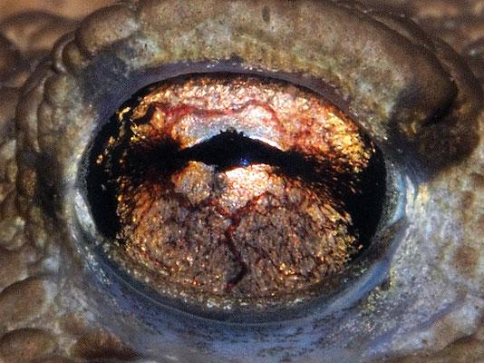 Erdkrötenauge (Bufo bufo)