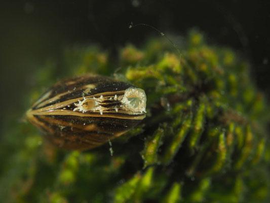 Baby-Muschel, 0,5- 1 cm klein, Dreikantmuschel (Dreissena polymorpha)