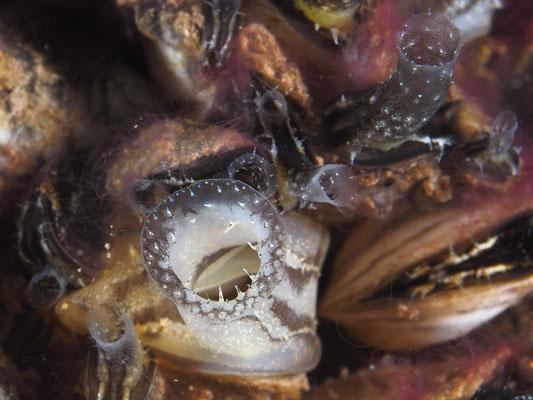 Syphon der Wandermusche, auch Dreikant- o. Zebramuschel (Dreissena polymorpha)
