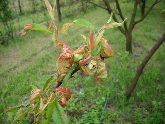 Pfirsichkräuselkrankheit Taphrinia deformans