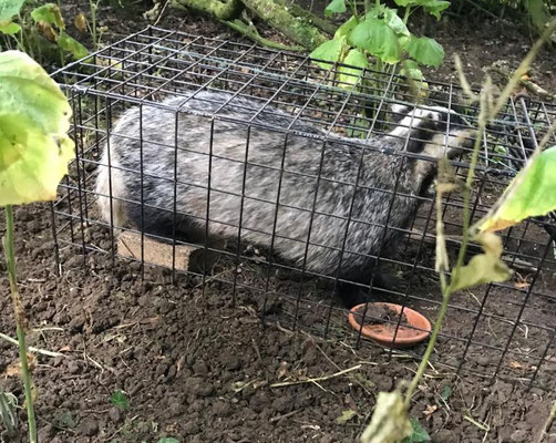 Badger in cage