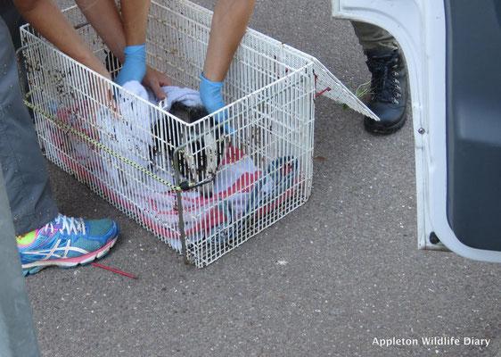 Badger cub rescue