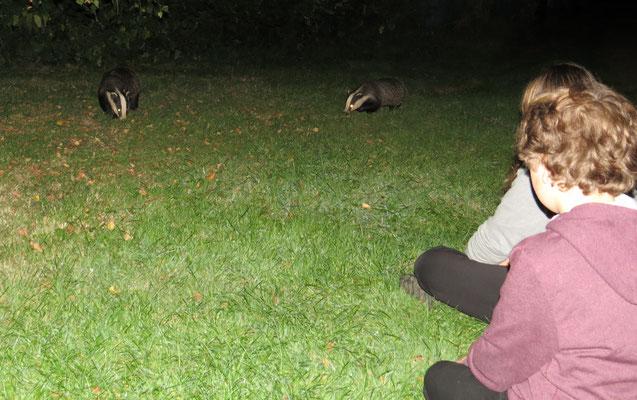 Badger watching