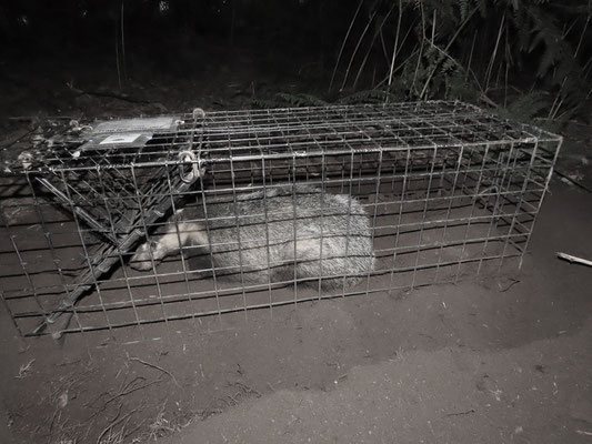 Badger in vaccination cage