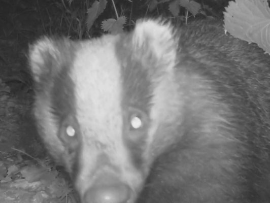 Close up of badger at vaccination site