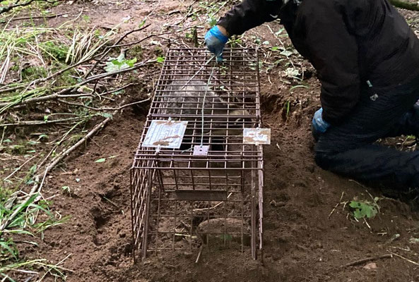 Fur clip to spray mark and show badger has been vaccinated