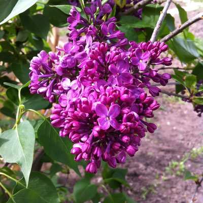 Potager, Lilas