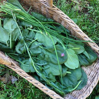 Potager, Kitchen Garden, Gap, Hautes Alpes, récolte, épinards