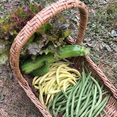 Potager, Gap, Hautes-Alpes, récolte, haricots, courgette, salade