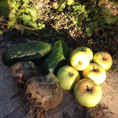 Potager, récolte, Gap, Hautes Alpes, pommes, cornichons, panais