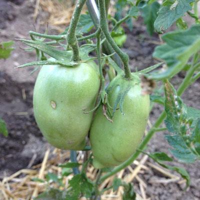 Potager, Gap, Hautes Alpes, kitchen garden, tomates, Cornue des Andes