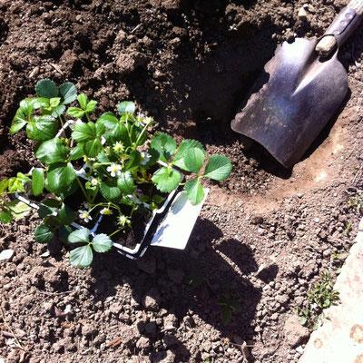 Potager, plants, fraisiers