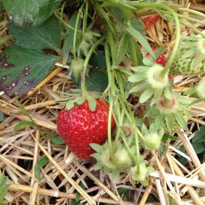 Potager, Gap, Hautes Alpes, fraisiers