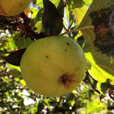 Jardin, Hautes Alpes, Gap, pommes, pommier