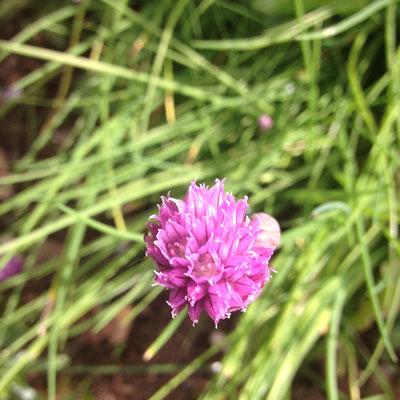 Potager, Gap, Hautes Alpes, fleur, ciboulette