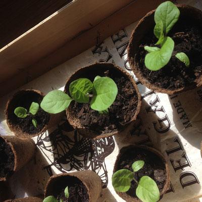 Potager, Kitchen Garden, Gap, Hautes Alpes, semis, aubergine
