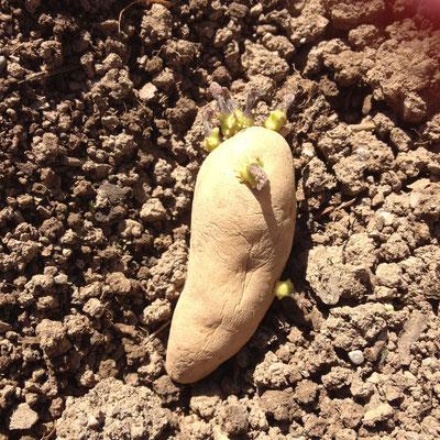 pomme de terre, semis, potager, Gap, Hautes-Alpes